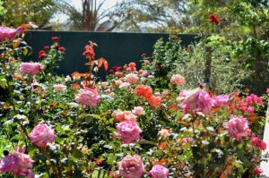 comfortable and affordable accommodation Menlyn-Pretoria. This is the beautiful rose garden in September